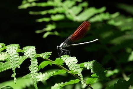 2015.05.26 瀬谷市民の森 シダにニホンカワトンボ