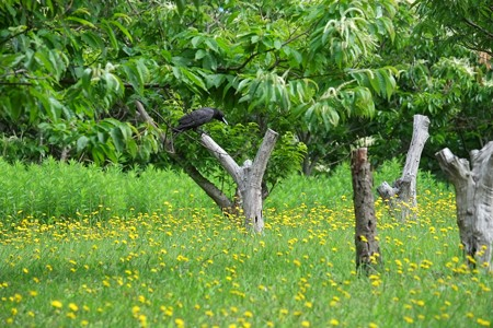 2015.06.04 追分市民の森 栗畑にカラス