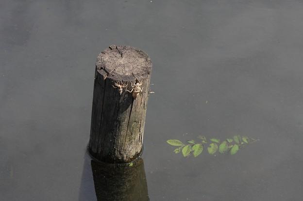 2011.06.25 和泉川 トンボ