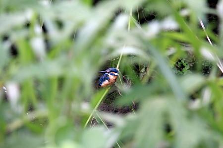 2011.08.12 和泉川 カワセミ 草陰に疲れ果てて