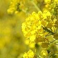 写真: 菜の花畑 2012・・9