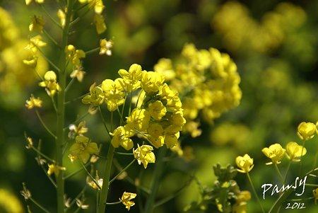 菜の花畑 2012・・10