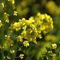 写真: 菜の花畑 2012・・10