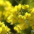 写真: 菜の花畑 2012・・11