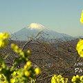 写真: 菜の花と・・富士山と・・