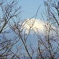 写真: 桜の梢の向こうの富士山・・
