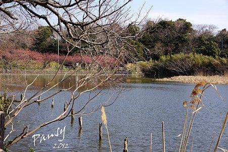 河津桜咲く池・・3