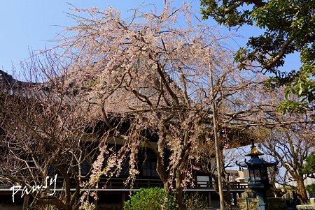 桜 kamakura 1