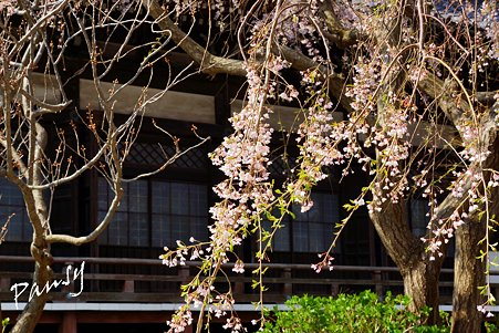 桜 kamakura 2