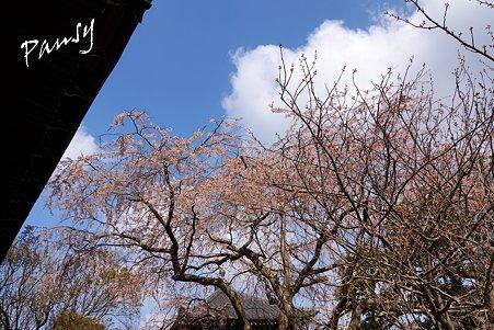 桜 kamakura 6