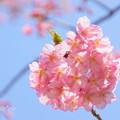 写真: 河津桜咲く三浦海岸-293
