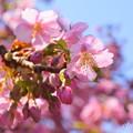 写真: 河津桜咲く三浦海岸-295