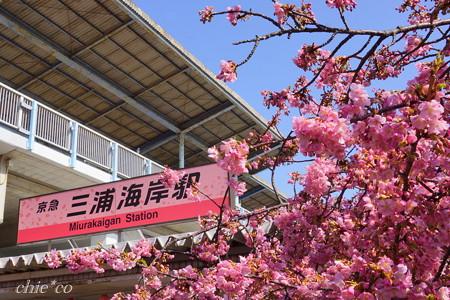 河津桜咲く三浦海岸-297