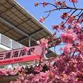 写真: 河津桜咲く三浦海岸-297