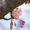 写真: 河津桜咲く三浦海岸-304