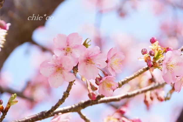 河津桜咲く三浦海岸-305