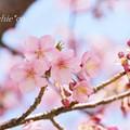 写真: 河津桜咲く三浦海岸-305