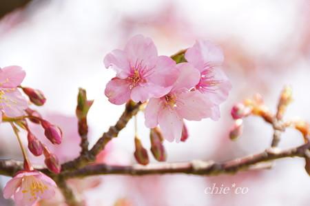 河津桜咲く三浦海岸-306
