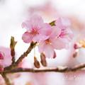 写真: 河津桜咲く三浦海岸-306