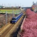 写真: 河津桜咲く三浦海岸-312