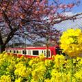 写真: 河津桜咲く三浦海岸-315