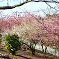 写真: 河津桜咲く三浦海岸-316