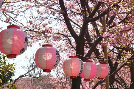 河津桜咲く三浦海岸-318