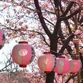 写真: 河津桜咲く三浦海岸-318