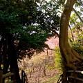 写真: 河津桜咲く三浦海岸-319
