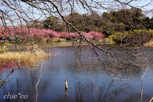 河津桜咲く三浦海岸-322