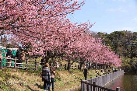河津桜咲く三浦海岸-320