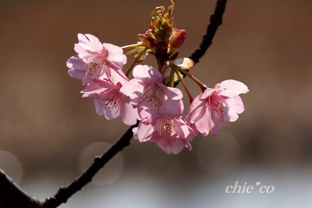河津桜咲く三浦海岸-325