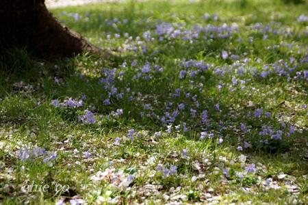 桜の樹に寄り添う・・スミレたち・・
