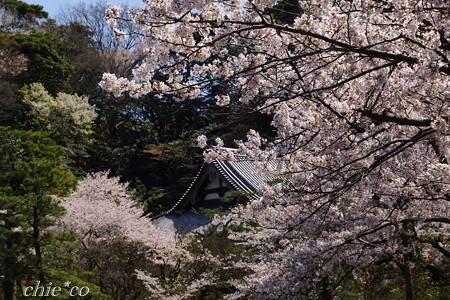 三渓園~桜咲くころ~-260