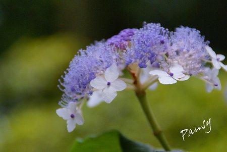 玉紫陽花・・林間に咲いて・・