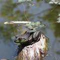 写真: 黒カエル?