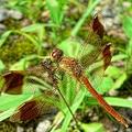 写真: 蜻蛉・・・。