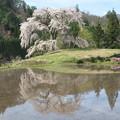与一野の枝垂桜