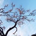 Photos: 梓弓