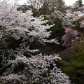 観音様のお花見(1)