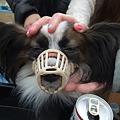 Photos: 口輪で登場の琉生