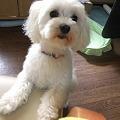 Photos: 可愛いマルチーズ誕生!