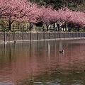 Photos: 河津桜の映りこみ!(120319)