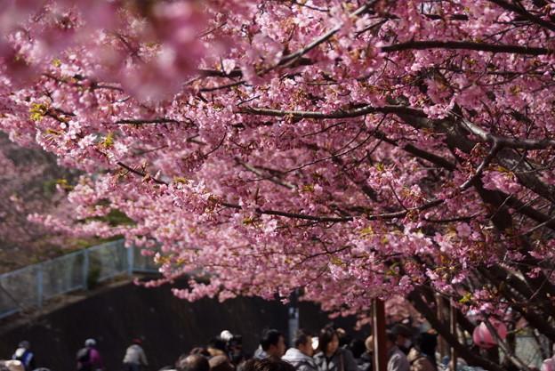 Photos: 満開の河津桜通り150228-62