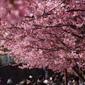 写真: 満開の河津桜通り150228-62