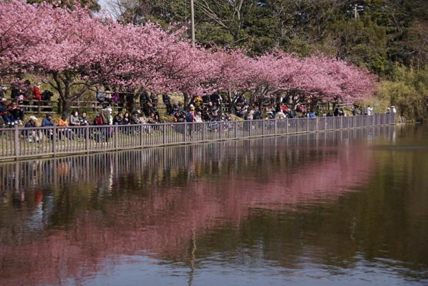 池のほとりに咲く河津桜150228-b