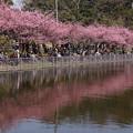 写真: 池のほとりに咲く河津桜150228-b