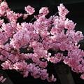写真: 満開の河津桜三浦150225-485