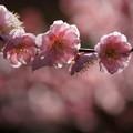 写真: 梅の花150228c