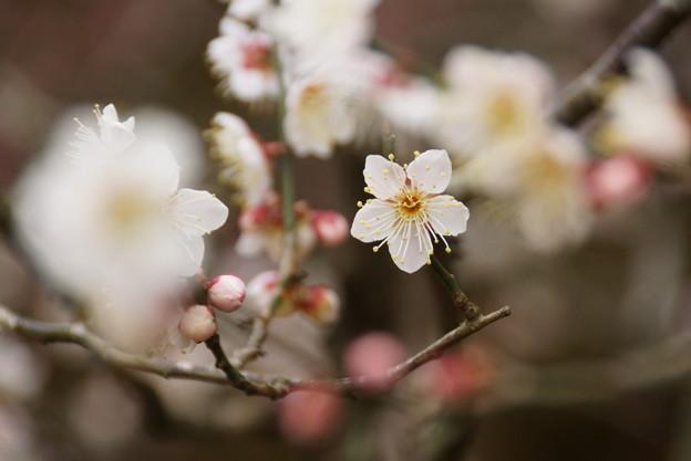 写真: 梅東慶寺150315-2415